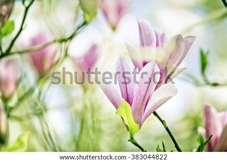 Flowering magnolia tree densely covered with beautiful fresh pink flowers in spring - stock photo