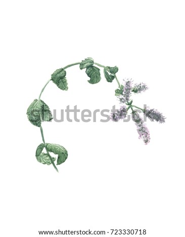 Flowering mint branch on white background stock illustration flowering mint branch on a white background mentha longifolia design for postcard box reheart Gallery