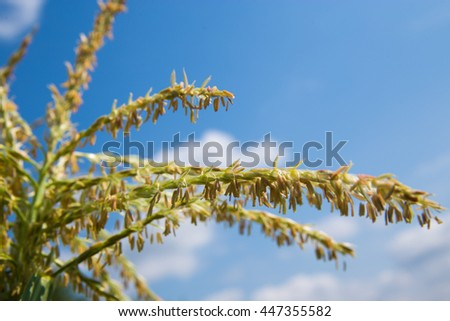 flowering of corn on a background of blue sky