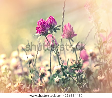Flowering of red clover in meadow - stock photo