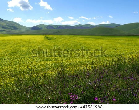 flowering of the plateau of Castelluccio of Norcia, Umbria, Italy.