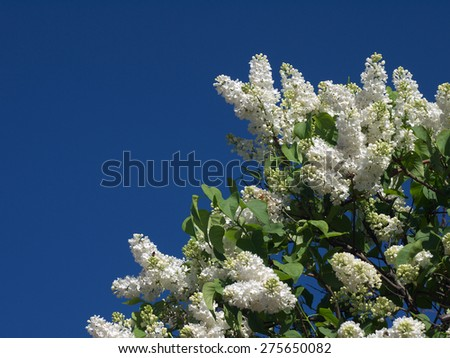 flowering of white lilac against the blue sky - stock photo