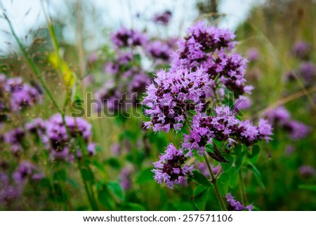 Flowering Oregano (Origanum vulgare) on a wild meadow - stock photo