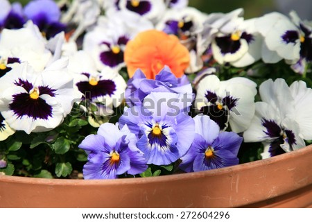 Flowering pansies in the spring rustic garden  - stock photo