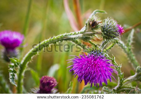flowering plant sow Thistle - stock photo