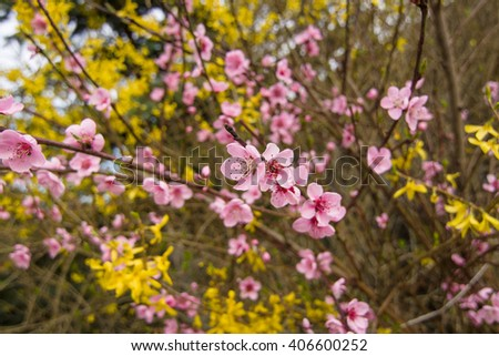 Flowering plum. - stock photo