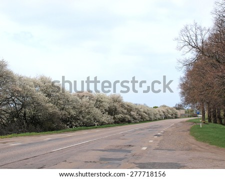 Flowering plum trees on road side in spring