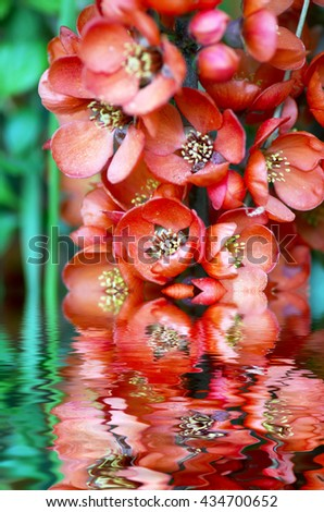 Flowering quince (cydonia oblonga) Red spring flowers (flowering quince, Japanese quince) - stock photo