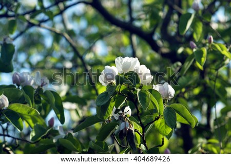 Flowering quince in spring - stock photo