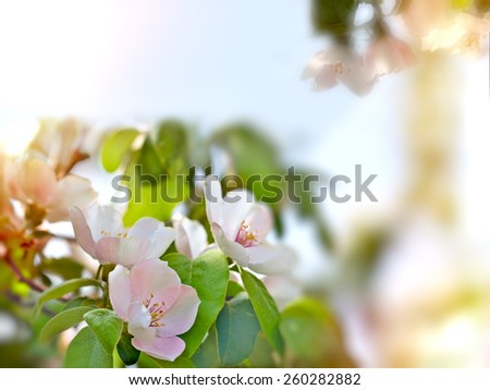 Flowering quince - quince flowers - stock photo