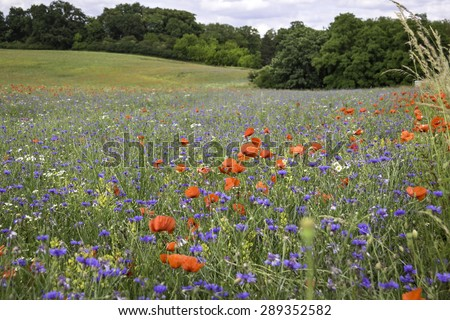 Flowering red poppies and cornflowers at the field. Landscape was seen in Brandenburg, Germany. - stock photo