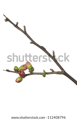 Flowering red quince or Chaenomeles japonica (meaning 'comes from Japan') isolated on white - stock photo