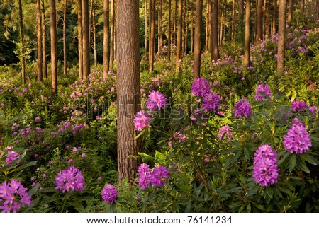 Flowering rhododendrons in the evening sun at Bere Wood nr Bloxworth, Dorset, UK