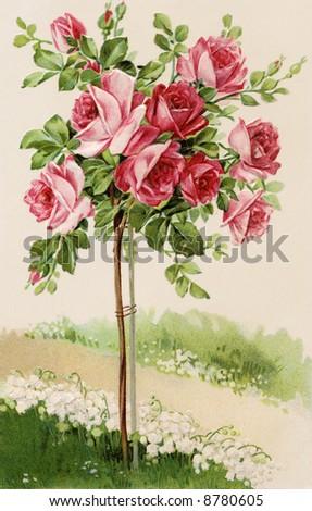 Flowering rose bush - a 1909 vintage illustration - stock photo