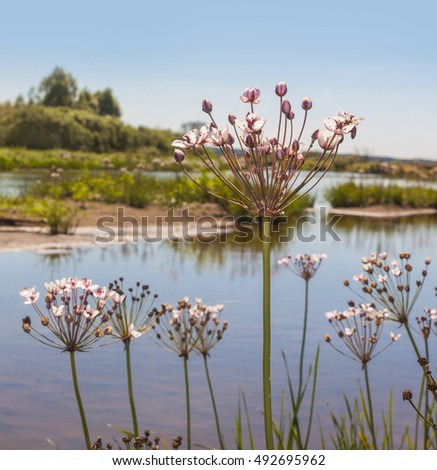 Flowering rush (Butomus umbellatus) on  summer day on the background of the river