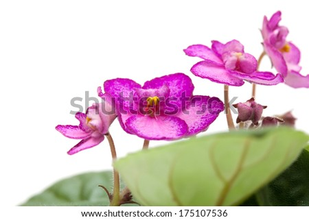 flowering saintpaulia isolated on white background
