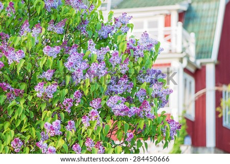 Flowering spring lilac (syringa) bush with red house, Sweden - stock photo