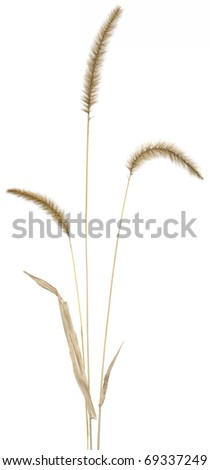 Flowering stems of ornamental fountain grass. Very high-res. - stock photo