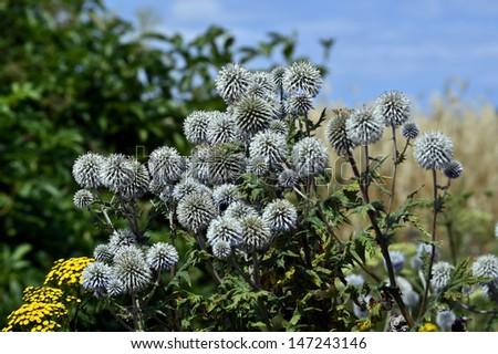 Flowering thistles Echinops bannaticus - stock photo