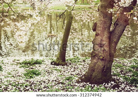 Flowering tree and lake in the St. james's park, London. Natural theme. - stock photo