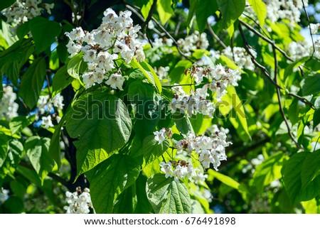 Flowering tree catalpa bignonioides white flowers stock photo flowering tree catalpa bignonioides white flowers and green leaves mightylinksfo