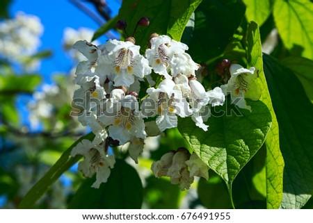 Flowering tree catalpa bignonioides white flowers stock photo edit flowering tree catalpa bignonioides white flowers and green leaves mightylinksfo
