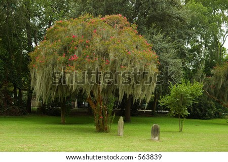 Flowering tree in cemetery. - stock photo
