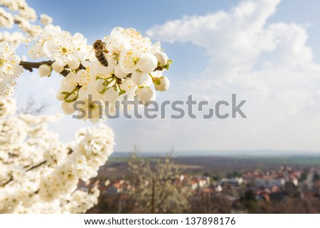 Flowering tree with bee and european city behind, copy space - stock photo