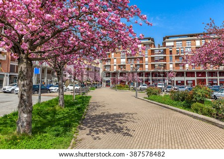 Flowering trees on urban alley in spring in town of Alba, Piedmont, Italy.