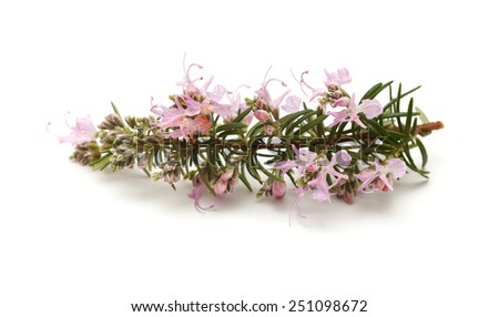 flowering twig of rosemary isolated on white background - stock photo