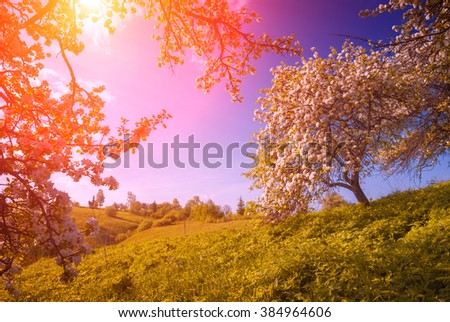 Flowering wild apples garden in a green Carpathian mountain valley. Majestic sunrise. Spring time - stock photo