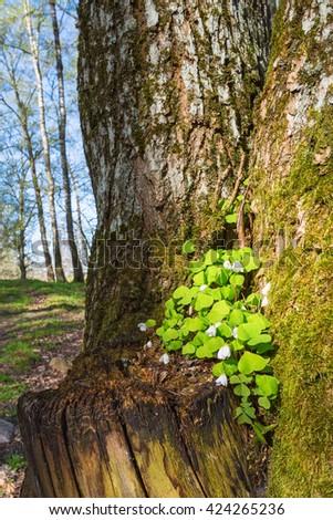 Flowering Wood sorrel growing in a tree - stock photo