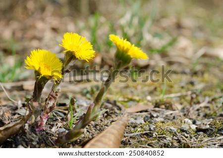 Flowering yellow coltsfoot (Tussilago farfara) - stock photo