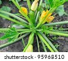 flowering zucchini in the vegetable garden #2 - stock photo