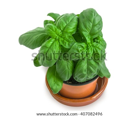 Flowerpot with bushes of basil isolated over white. - stock photo