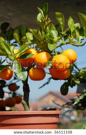 flowerpot with mandarin tree with leaves and fruits - stock photo