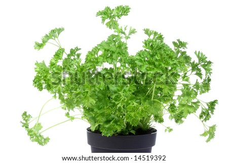 Flowerpot with parsley on a white background. - stock photo