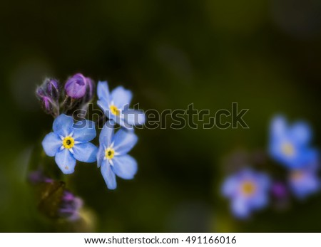 flowers a forget-me-not  against the dark background