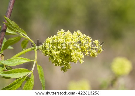 Flowers and leaves of blossoming red elderberry, Sambucus Racenosa, on branch with bokeh background macro, selective focus, shallow DOF - stock photo