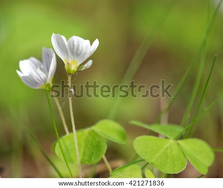 Flowers and leaves of common wood sorrel (Oxalis acetosella). - stock photo