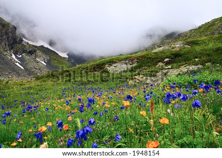 Flowers and mountains. Altay. Russia. - stock photo