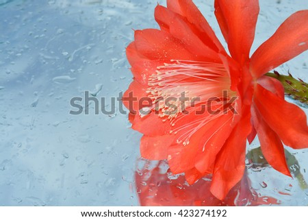 flowers and their reflection in water, cactus - stock photo