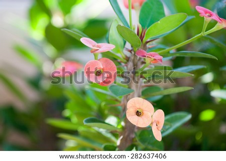 Flowers and thorn of Crown of Thorns or Christ Thorn - stock photo