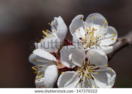 Flowers apricot tree branch with flowers close up - stock photo