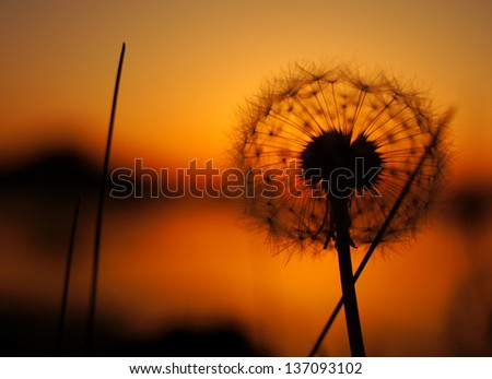 flowers background dandelion on sunset - stock photo
