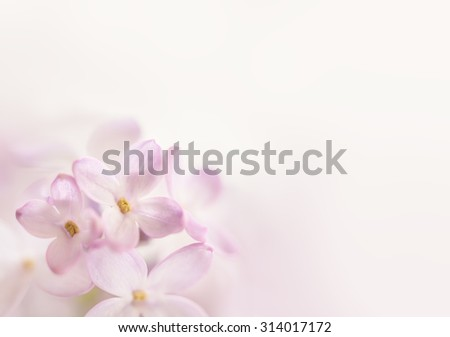 Flowers background. Soft focus image of lilac flowers - stock photo
