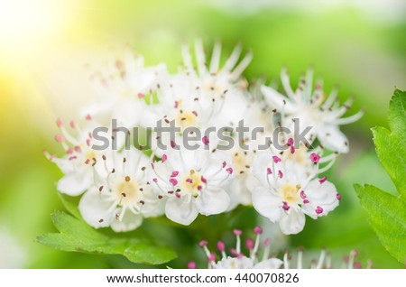 Flowers blooming hawthorn in spring in the forest close-up - stock photo