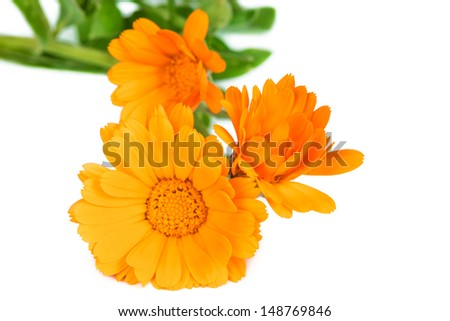 Flowers blooming kalendula isolated on white background