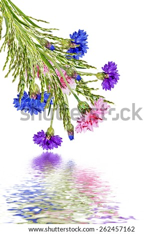 Flowers cornflowers isolated on white background