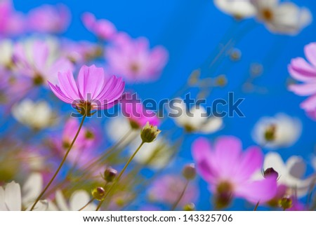Flowers cosmos against the blue sky. - stock photo